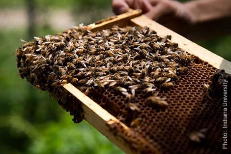 honeybees-irene-newton-lab